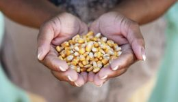 African-hands-grains-corn-agriculture-426x283